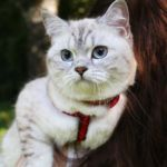 Британский кот Кенниана